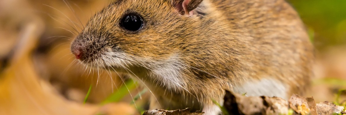 HOW TO RODENT-PROOF YOUR HOME THIS FALL